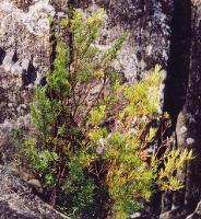 Boronia gunnii photograph