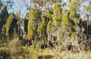Callitris oblonga subsp. oblonga photograph