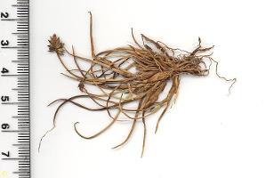 Carex cephalotes photograph
