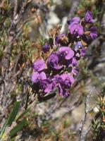 Hovea montana photograph