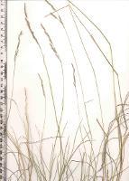 Deyeuxia decipiens photograph