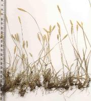 Deyeuxia minor photograph