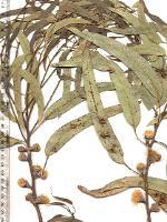 Eucalyptus globulus subsp. pseudoglobulus photograph