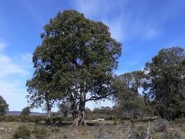 Eucalyptus gunnii subsp. divaricata photograph