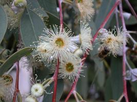 Eucalyptus morrisbyi photograph