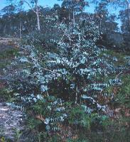 Eucalyptus perriniana photograph
