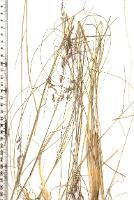 Deyeuxia apsleyensis photograph