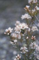 Epacris glabella photograph