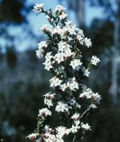 Epacris acuminata photograph