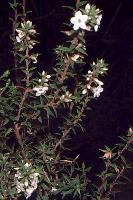 Epacris apsleyensis photograph