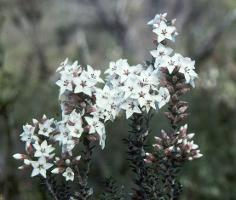 Epacris barbata photograph