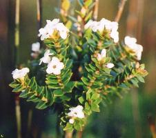 Epacris curtisiae photograph