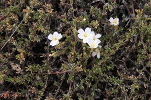 Frankenia pauciflora var. gunnii photograph