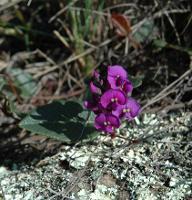 Hardenbergia violacea photograph
