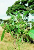 Hedycarya angustifolia photograph