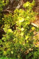 Hibbertia calycina photograph