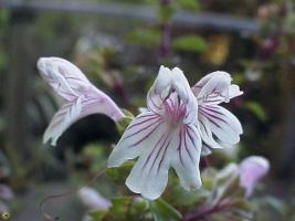 Euphrasia amphisysepala photograph