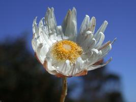 Rhodanthe anthemoides photograph