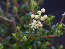 Pomaderris elachophylla photograph