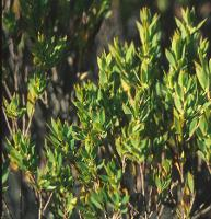 Leucopogon esquamatus photograph