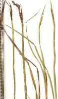 Lepidosperma viscidum photograph