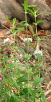 Mentha australis photograph