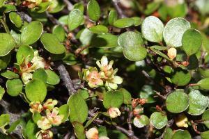 Muehlenbeckia axillaris photograph
