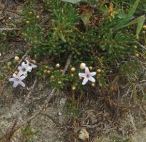 Myoporum parvifolium photograph