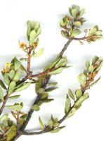 Monotoca submutica var. autumnalis photograph