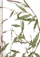Persicaria decipiens photograph