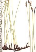 Schoenus brevifolius photograph