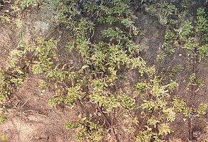 Zygophyllum billardierei photograph