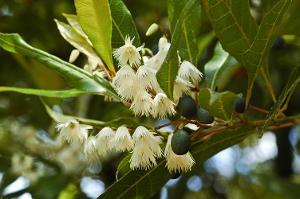 Elaeocarpus reticulatus photograph