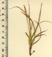 Uncinia elegans photograph