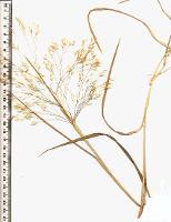 Lachnagrostis billardierei subsp. tenuiseta photograph