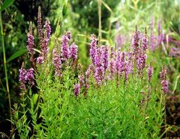 Lythrum salicaria photograph