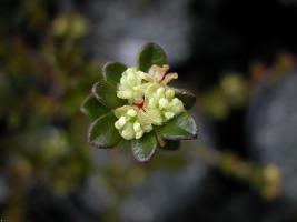 Micrantheum serpentinum photograph