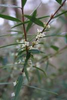 Pimelea axiflora subsp. axiflora photograph