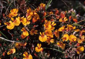Pultenaea prostrata photograph