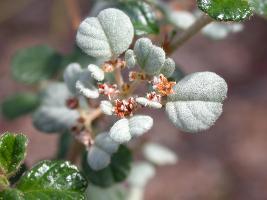 Spyridium parvifolium var. parvifolium photograph