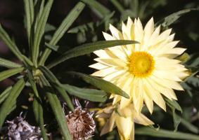 Xerochrysum bicolor photograph