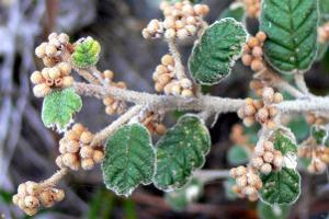 Pomaderris oraria subsp. oraria photograph