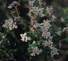 Spyridium parvifolium var. molle photograph
