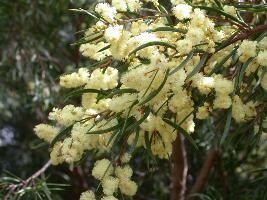 Acacia siculiformis photograph